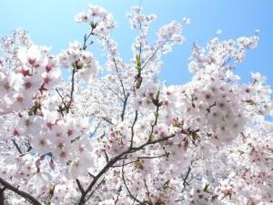 Die Kirschblüte ist in Japan ein grosses Ereignis