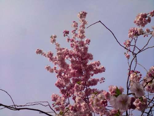 Kirschblüte in Deutschland (nicht Japan!)